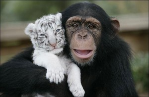 anjana-the-chimpanzee-and-two-tigers-3